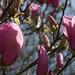 Small photo of Tulip Tree