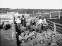 Classing sheep