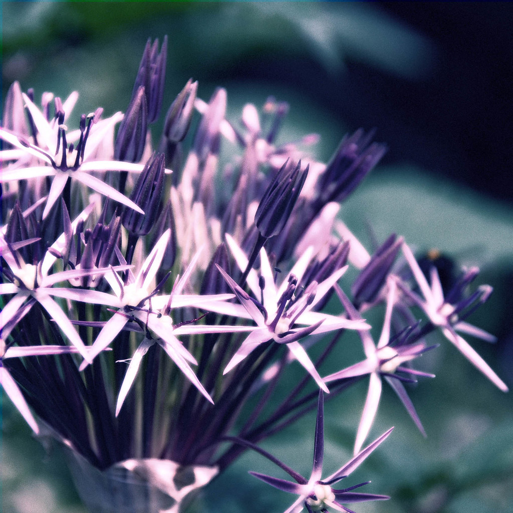 Allium purple and teal