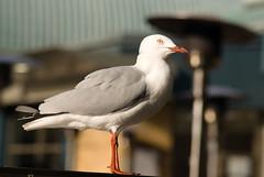 Australian Sea Gull