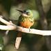 Série com o fêmea do Ariramba, Ariramba-da-cauda-ruiva, Bico-de-agulha, Bico-de-agulha-de-rabo-vermelho, Beija-flor-grande, Beija-flor-d'água (Galbula ruficauda) - Rufous-tailed Jacamar - 08-06-2008 - IMG_3303