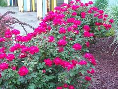 rosa rugosa(0.0), rosa wichuraiana(1.0), annual plant(1.0), shrub(1.0), garden roses(1.0), floribunda(1.0), flower(1.0), plant(1.0),