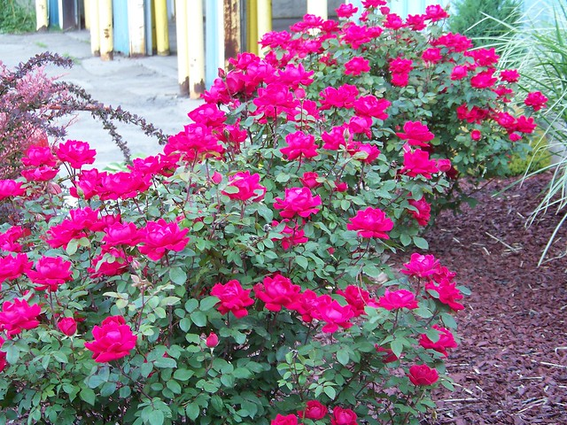Red Rose Bush Flower Meanings found here By Avia
