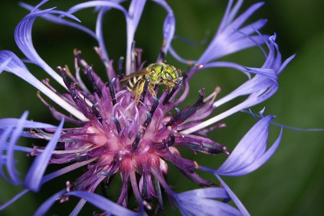 Header of Agapostemon virescens