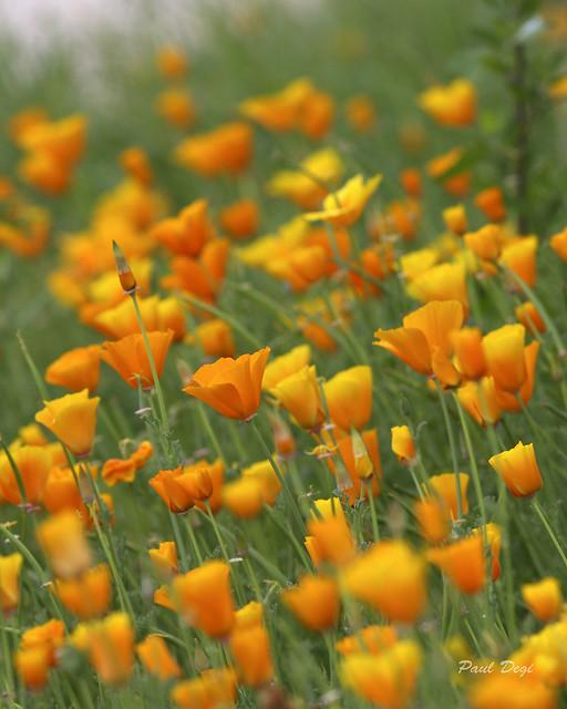 Orange Fairy Flowers