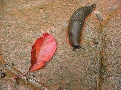 animal(1.0), leaf(1.0), marine biology(1.0), invertebrate(1.0), fauna(1.0), slug(1.0),