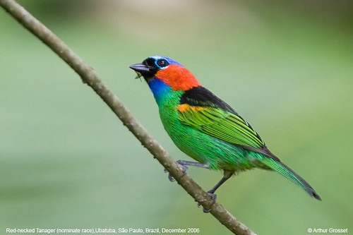 Tangara cyanocephala - Red-necked Tanager