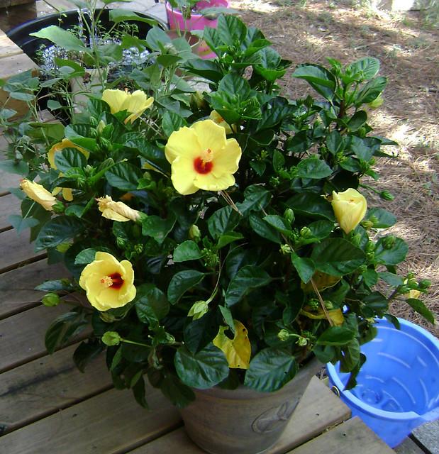 yellow hibiscus plant - photo #3