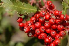 shrub(0.0), acerola(0.0), flower(0.0), crataegus pinnatifida(0.0), schisandra(0.0), rowan(0.0), zante currant(0.0), hawthorn(0.0), lingonberry(0.0), berry(1.0), red(1.0), plant(1.0), produce(1.0), fruit(1.0), food(1.0), aquifoliaceae(1.0), aquifoliales(1.0),