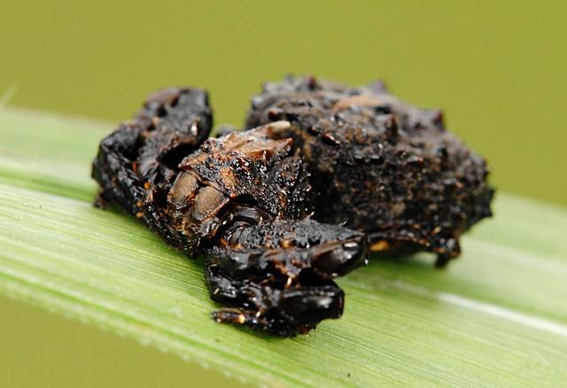 Bird dung crab spider - photo#12