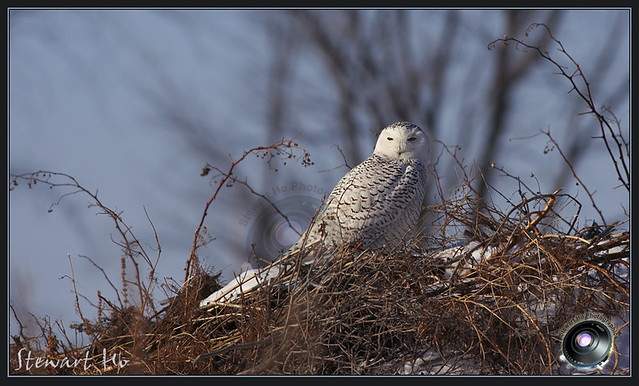 Snowy Owl_Nest | Snowy Owl_Nest_ON_1_09 | By: Stewart Ho ...