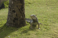Our First Iguana