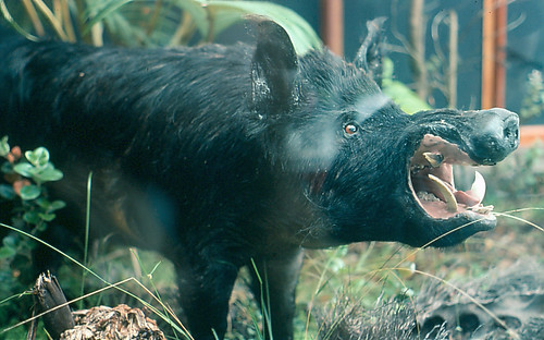 Wild boar | by Plant pests and diseases