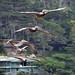 Brown Pelicans by NancelAnders