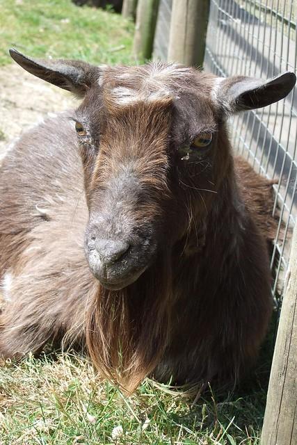 Sleepy goat | Flickr - Photo Sharing! Milk