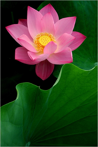 Lotus Flower: MG_4877-500