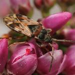 díszes csalánbodobács - Scolopostethus decoratus