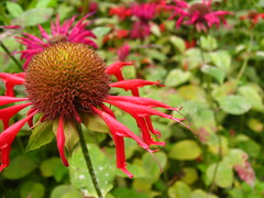 shrub(0.0), purple coneflower(0.0), annual plant(1.0), flower(1.0), plant(1.0), nature(1.0), bee balm(1.0), macro photography(1.0), wildflower(1.0), flora(1.0), petal(1.0),