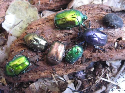 cetoniidae.org Le blog des Cetoniidae - Présentation …