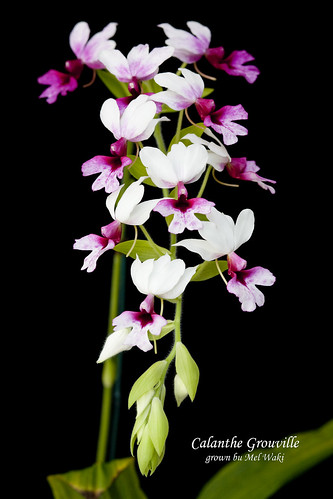 Calanthe Grouville