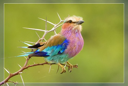 africa bird nature animal southafrica bravo wildlife rolller naturesfinest lilacbreastedroller malamalagamereserve malamala specanimal hvhe1 hennievanheerden avianexcellence ostrellina rattrays savebeautifulearth visionqualitygroup