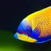 Queen Angelfish by telum27