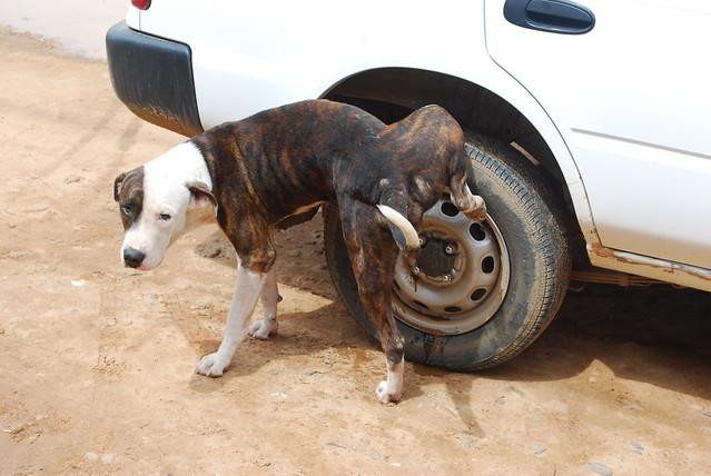 Dog pissing on cars wheel