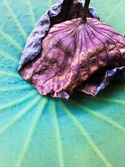 my lotus