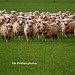 Australia Sheep flock