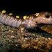 Small photo of Spotted Sallie, Ambystoma maculatum