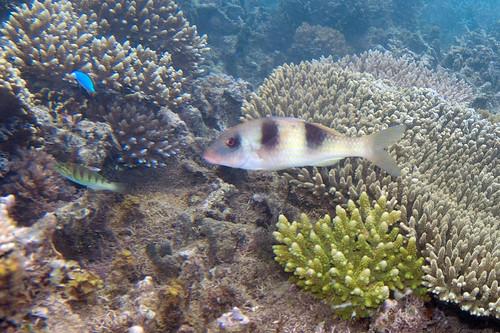 thicklipped goatfish Parupeneus crassilabris (doublebar goatfish)