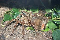 Seattle Bug Safari - Goliath Bird Eater Tarantula 4 (By Ryan Somma)