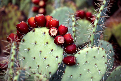 Prickly Pear Fruit, So Ripe!