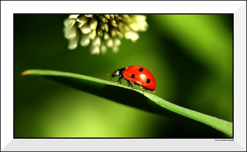 Lady Beetle with flower