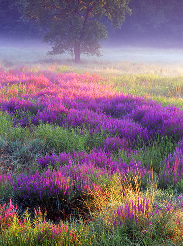 meadow of loosestrife by jjraia