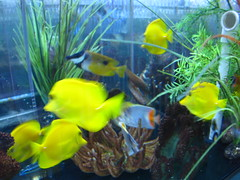 goldfish(0.0), fish(1.0), yellow(1.0), coral reef fish(1.0), marine biology(1.0), aquarium lighting(1.0), freshwater aquarium(1.0), pomacentridae(1.0),