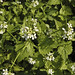 Small photo of Alliaria petiolata GARLIC MUSTARD