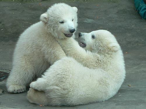 Playful Polar Bear Cubs