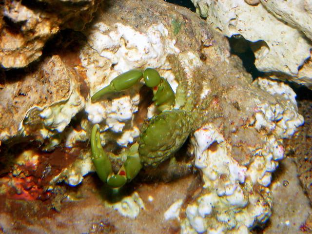 Baby emerald crab