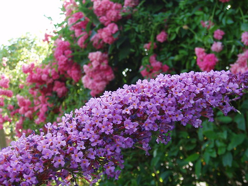 Buddleja and Roses
