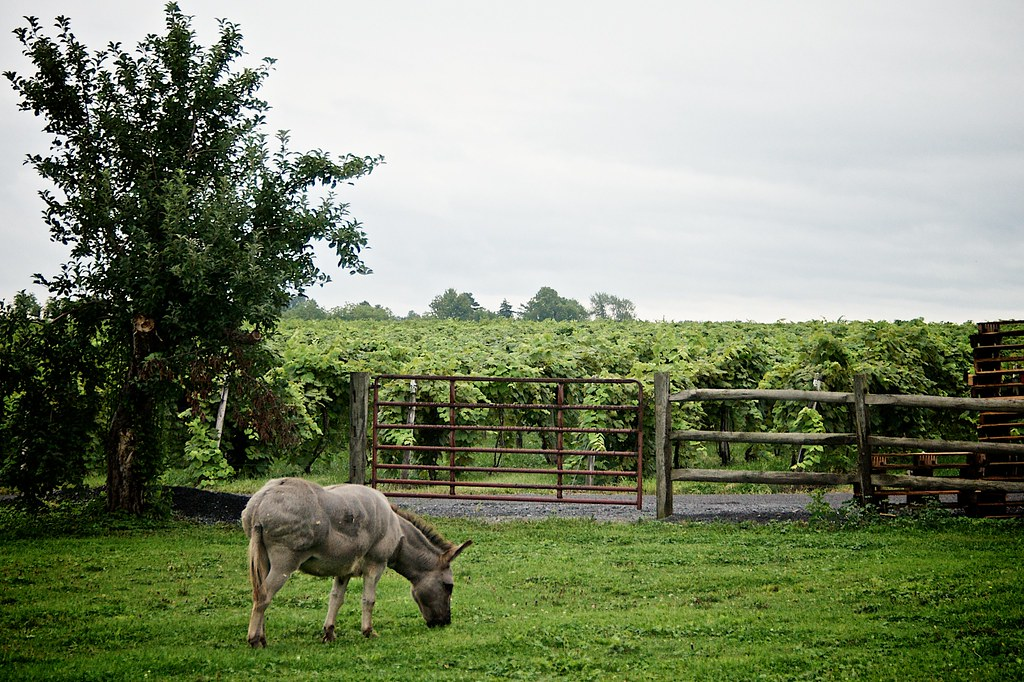 The Mule at Swedish Hill Winery