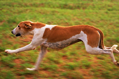 dog breed, animal, hound, harrier, magyar agã¡r, dog, whippet, galgo espaã±ol, sighthound, saluki, sloughi, american foxhound, pet, carnivoran, azawakh,