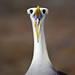 Albatross Courtship Ritual by Burrard-Lucas Wildlife Photography