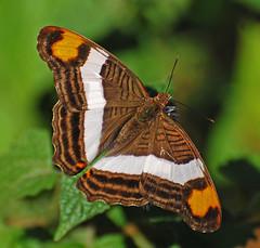 Mariposa Monja - Photo (c) Jerry Oldenettel, algunos derechos reservados (CC BY-NC-SA)