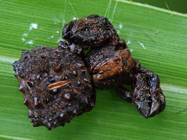 Bird dung crab spider - photo#5