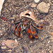 Corcovado's Most Obvious Resident - The Hermit Crab