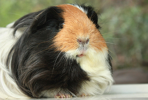 Diana the guinea pig by fizzyjess