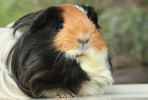 Diana the guinea pig by fizzyjess