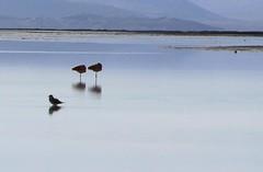 Aves en Aguas Calientes, Uyuni, Bolivia