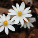 Bloodroot - Photo (c) Christine (and John) Fournier, some rights reserved (CC BY-NC)